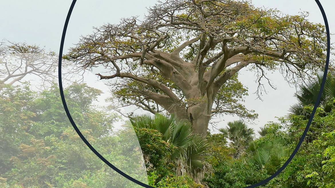 Baobab: A unique African tree with a fascinating history